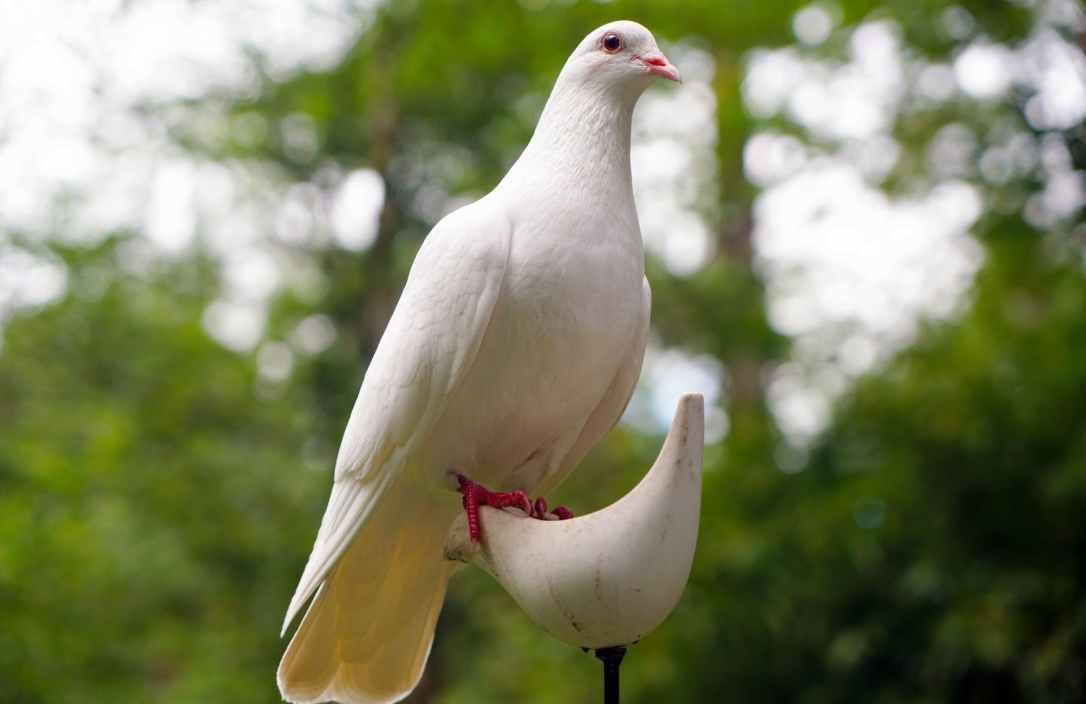 dove-bird-nature-peace-161133.jpeg